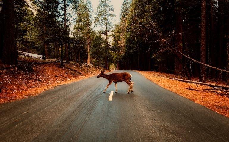 Kierowcy, uważajcie na dzikie zwierzęta!