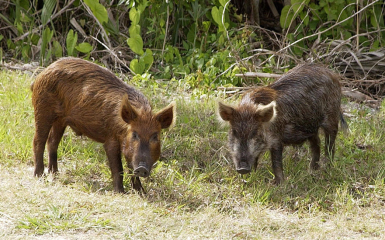 Pomór świń – czy mamy się bać?